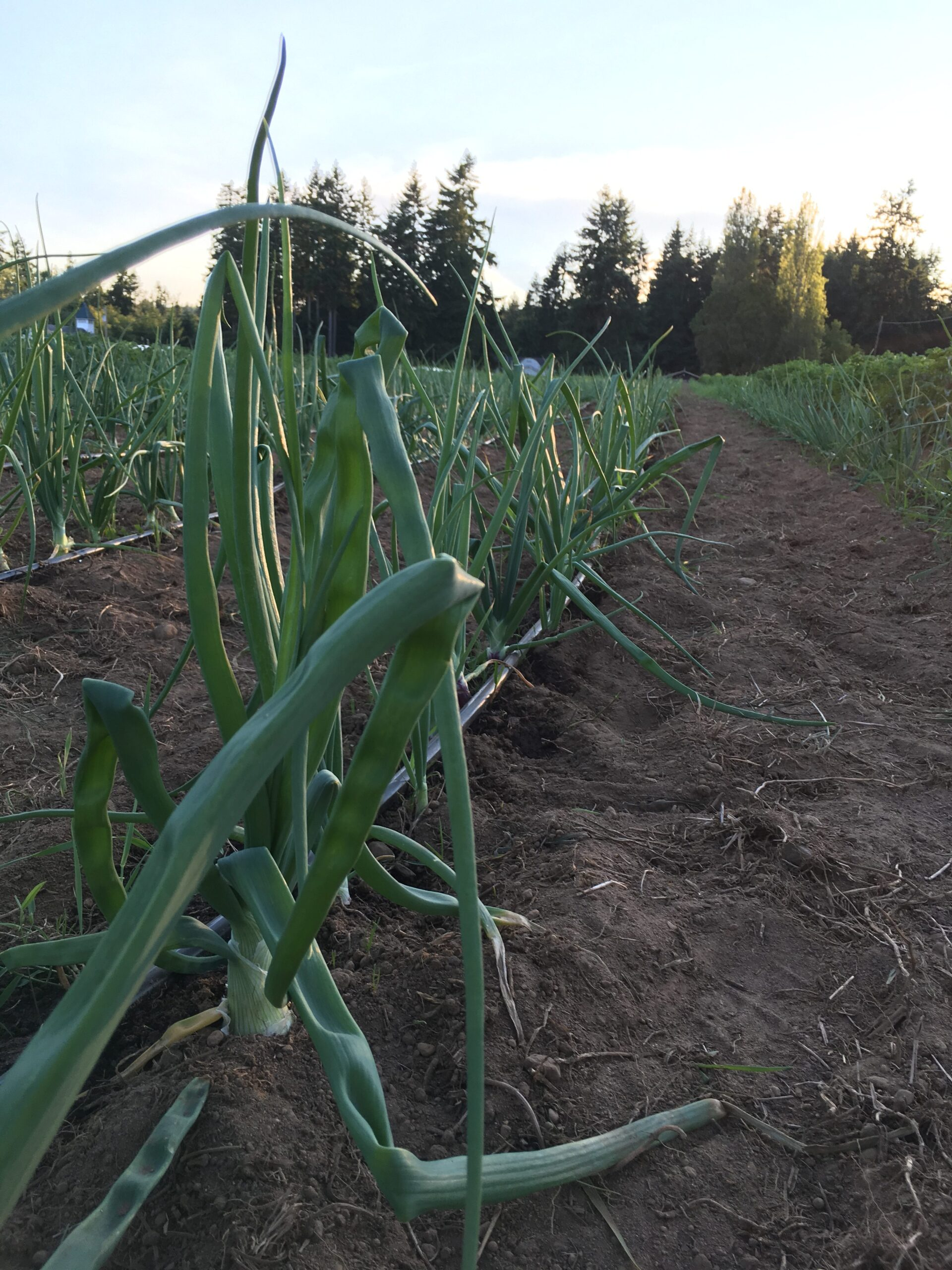 onions halfway throught the season