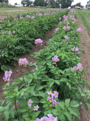 potatoes starting to flower