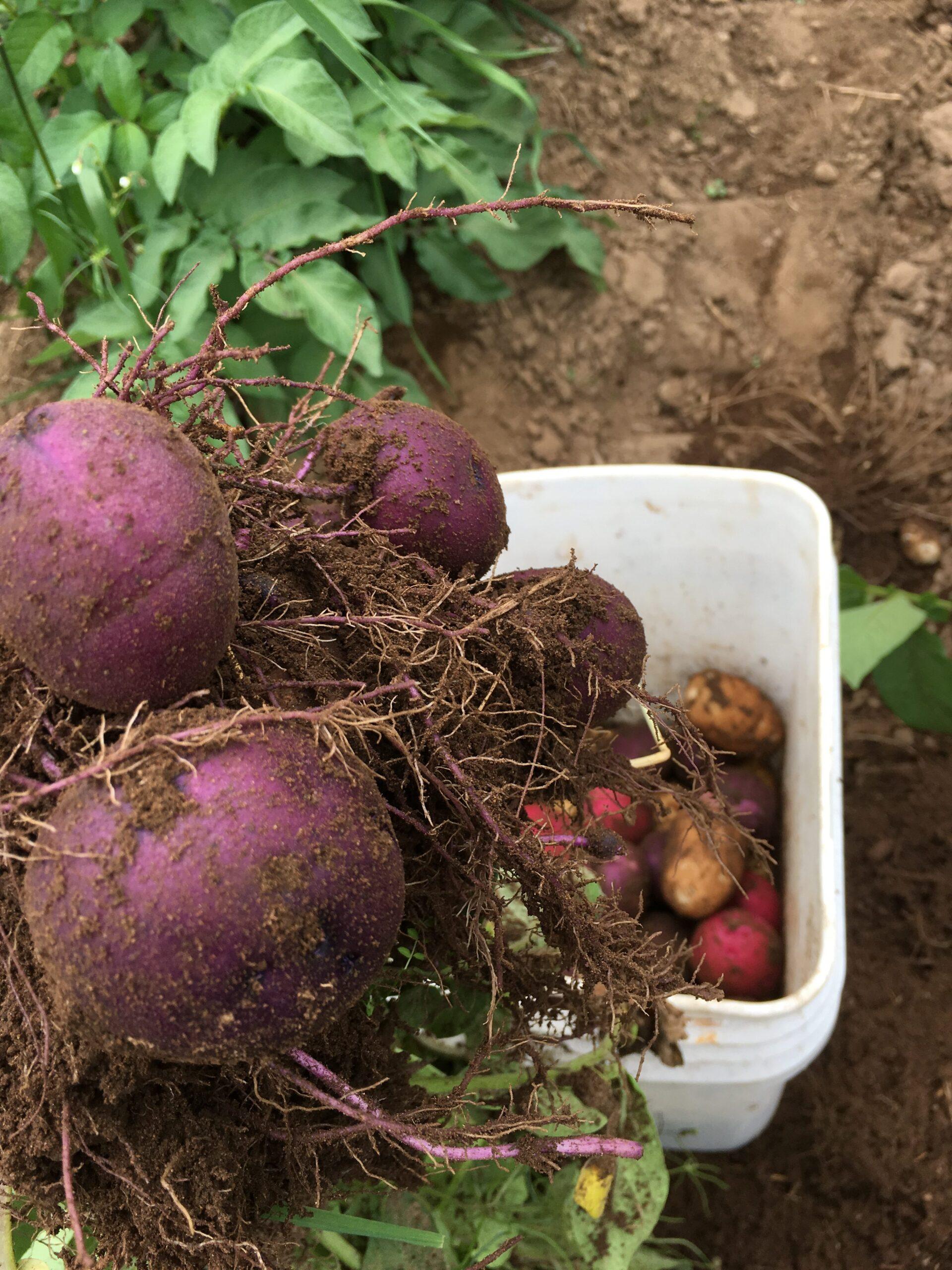 blue potatoes freshly harvested