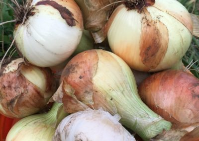 Yellow and white onions