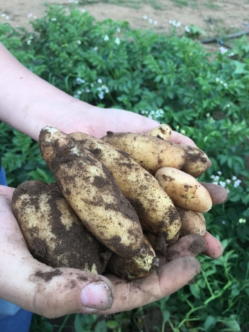 fingerling-potatoes