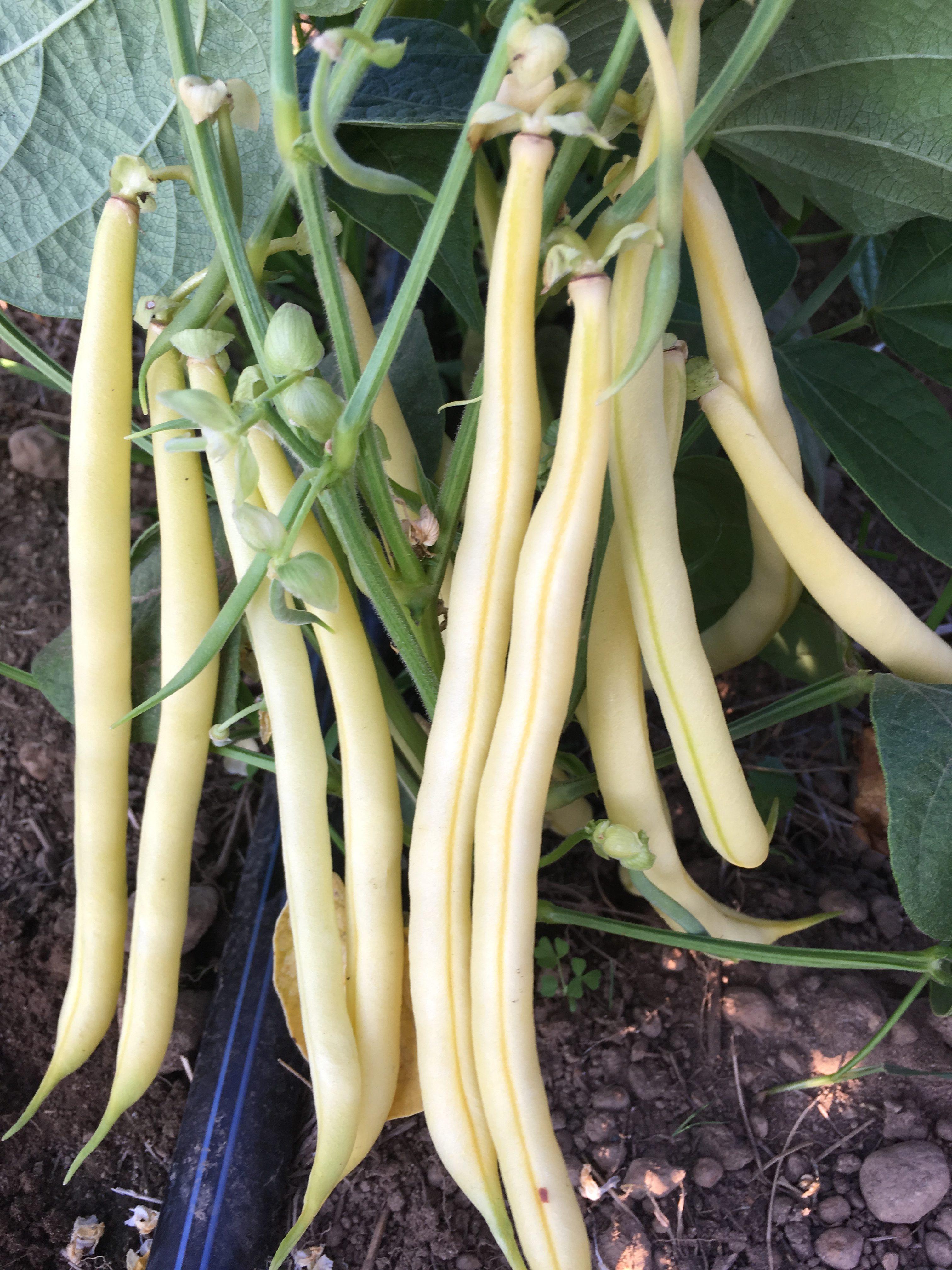 yellow beans on the bush