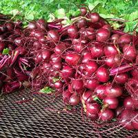 Beets Bulk Pre-Sale Orders Kingston, WA