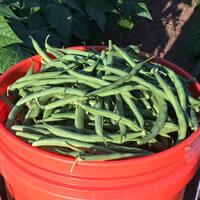 Green Beans Bulk Pre-Sale Orders Kingston, WA