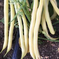 Yellow Beans Bulk Pre-Sale Orders Kingston, WA