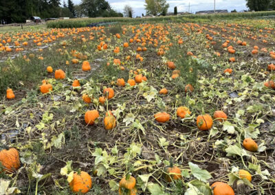 Pumpkins of all sizes