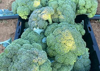 Broccoli organic - Fat Turnip Farms