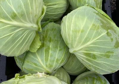Cabbage organic - Fat Turnip Farms