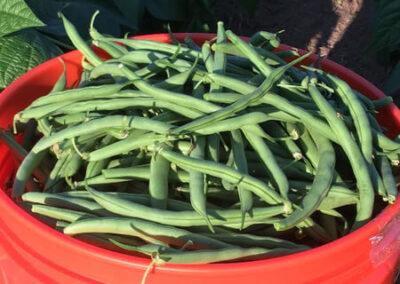 Green Beans - bulk pre sale orders - Kingston WA