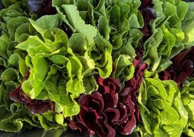 Organic lettuce grown at Fat Turnip Farms - Kingston WA