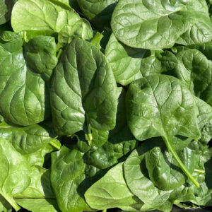 Organic spinach grown at Fat Turnip Farms - Kingston WA