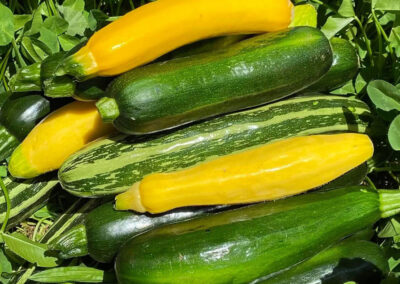 Summer Squash - Fat Turnip Farms - Kingston WA
